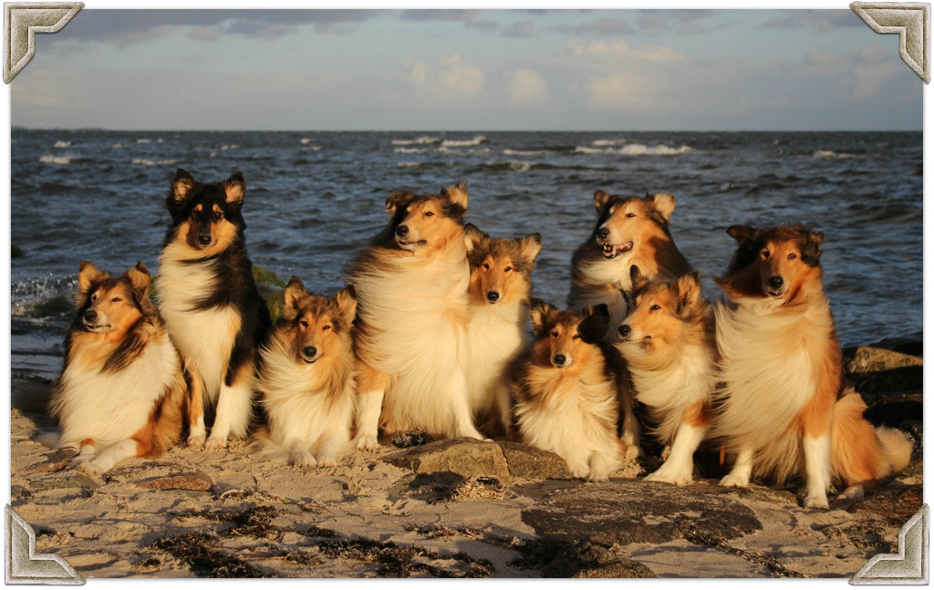 Collies am Hundestrand in Thiessow