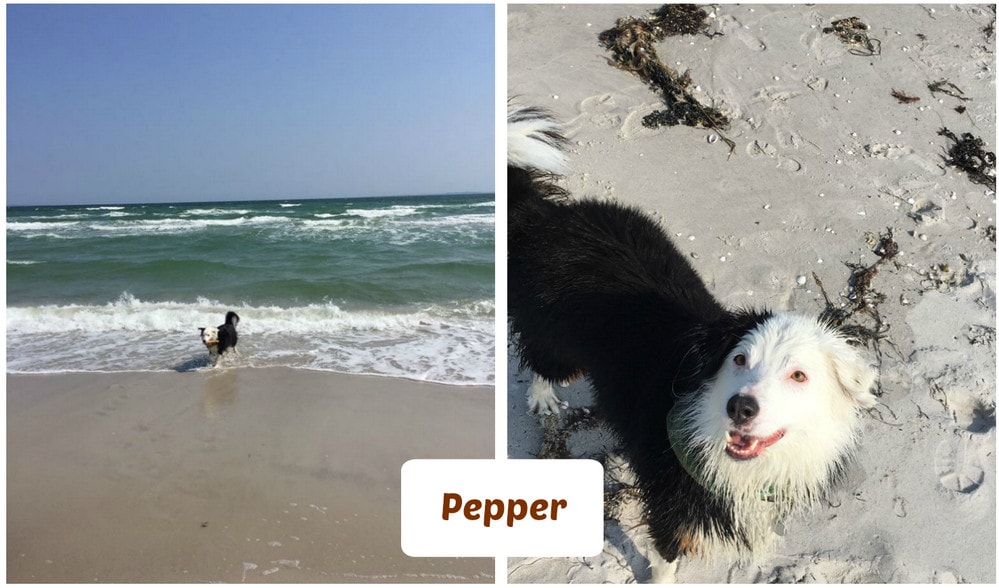 Pepper am Hundestrand in Dänemark